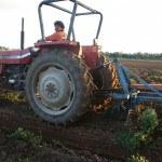Raccolta delle arachidi all'agriturismo Diciocco